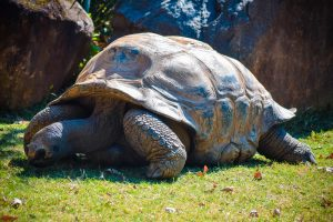 Galápagos tortoise 5K