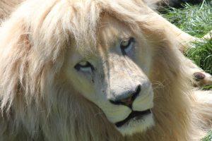 White Lion 01