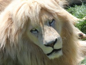Beautiful White Lion HD