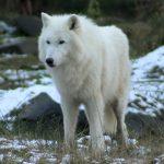 White Wolf 01