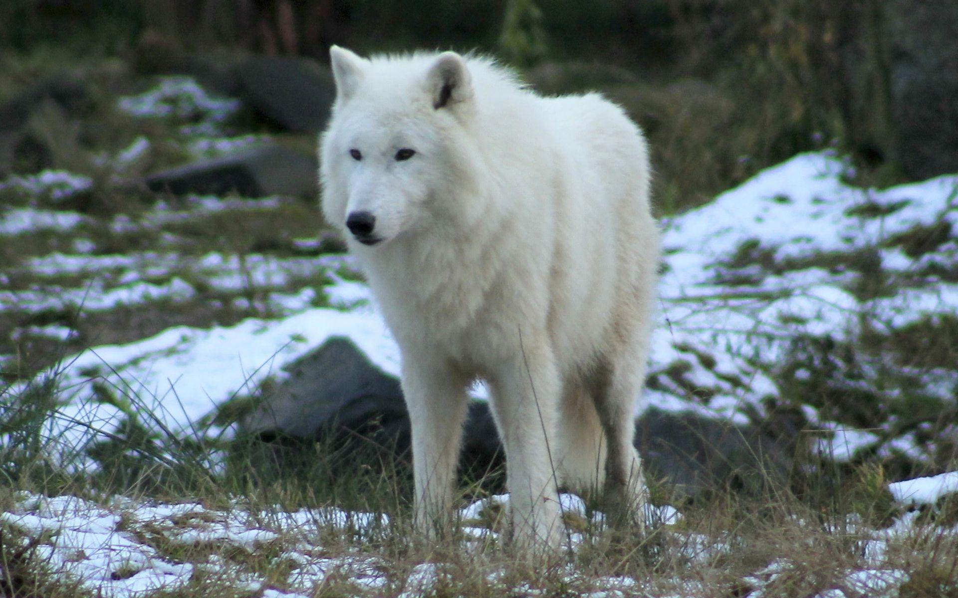 Beautiful White Wolf HD Wallpaper