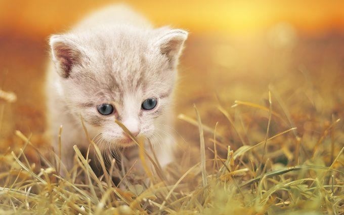Beige Kitten 01