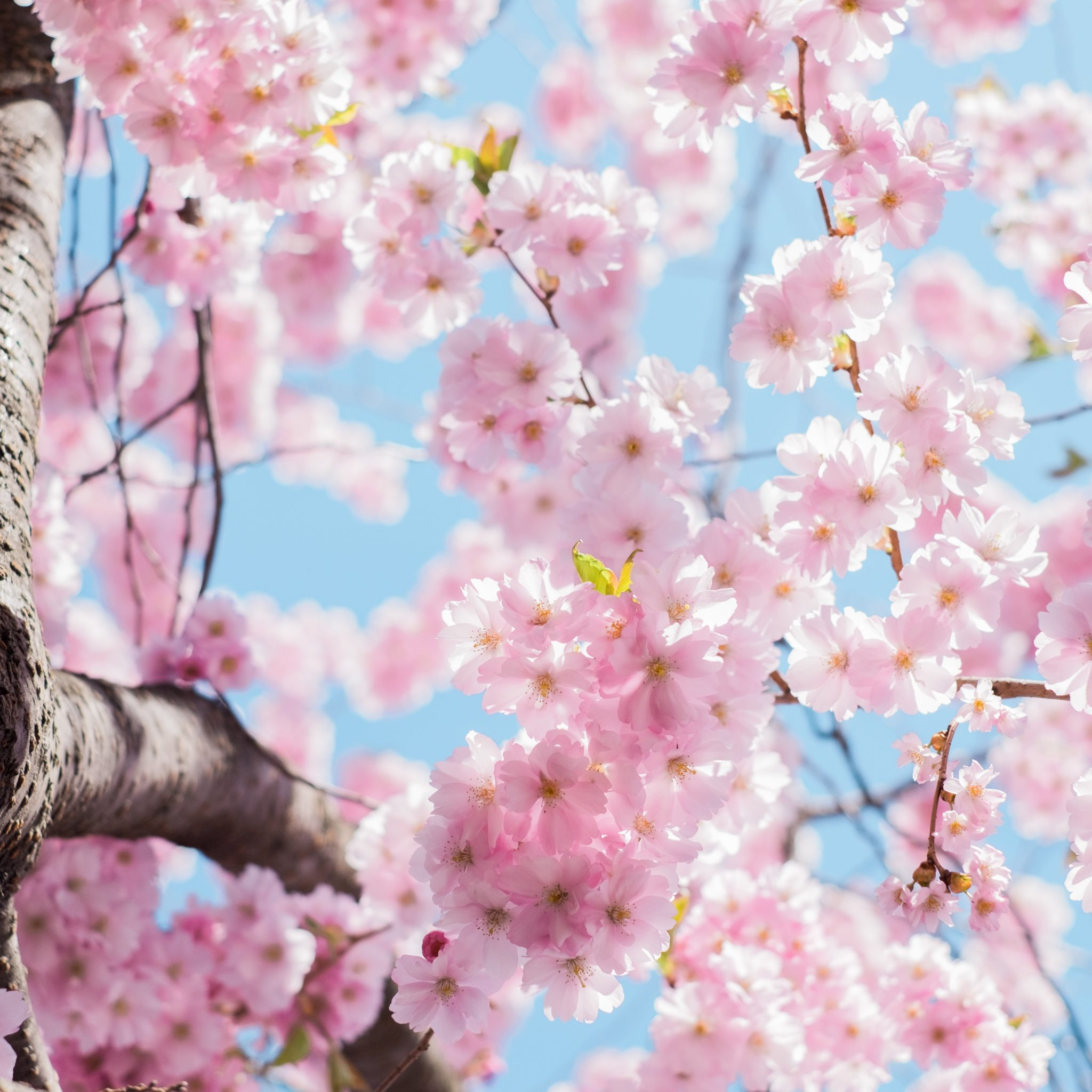 Beautiful Nature Girl Wallpaper: Blossoming Of Hanami (Spring) 4K UHD Wallpaper