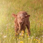 Brown Calf In Grass