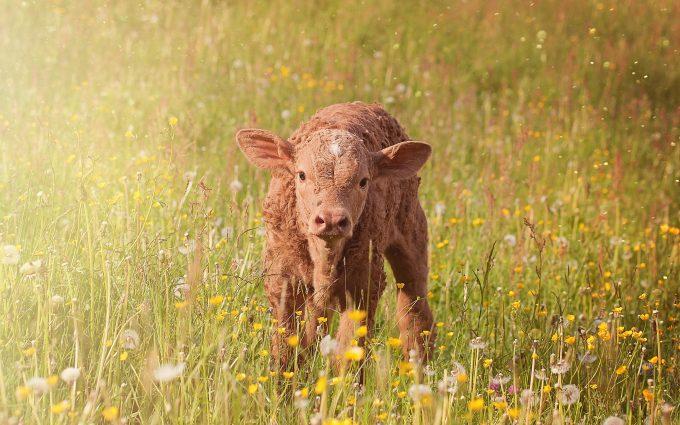 Brown Calf In Grass