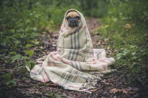 Cute Pug with Cover on Head 4K