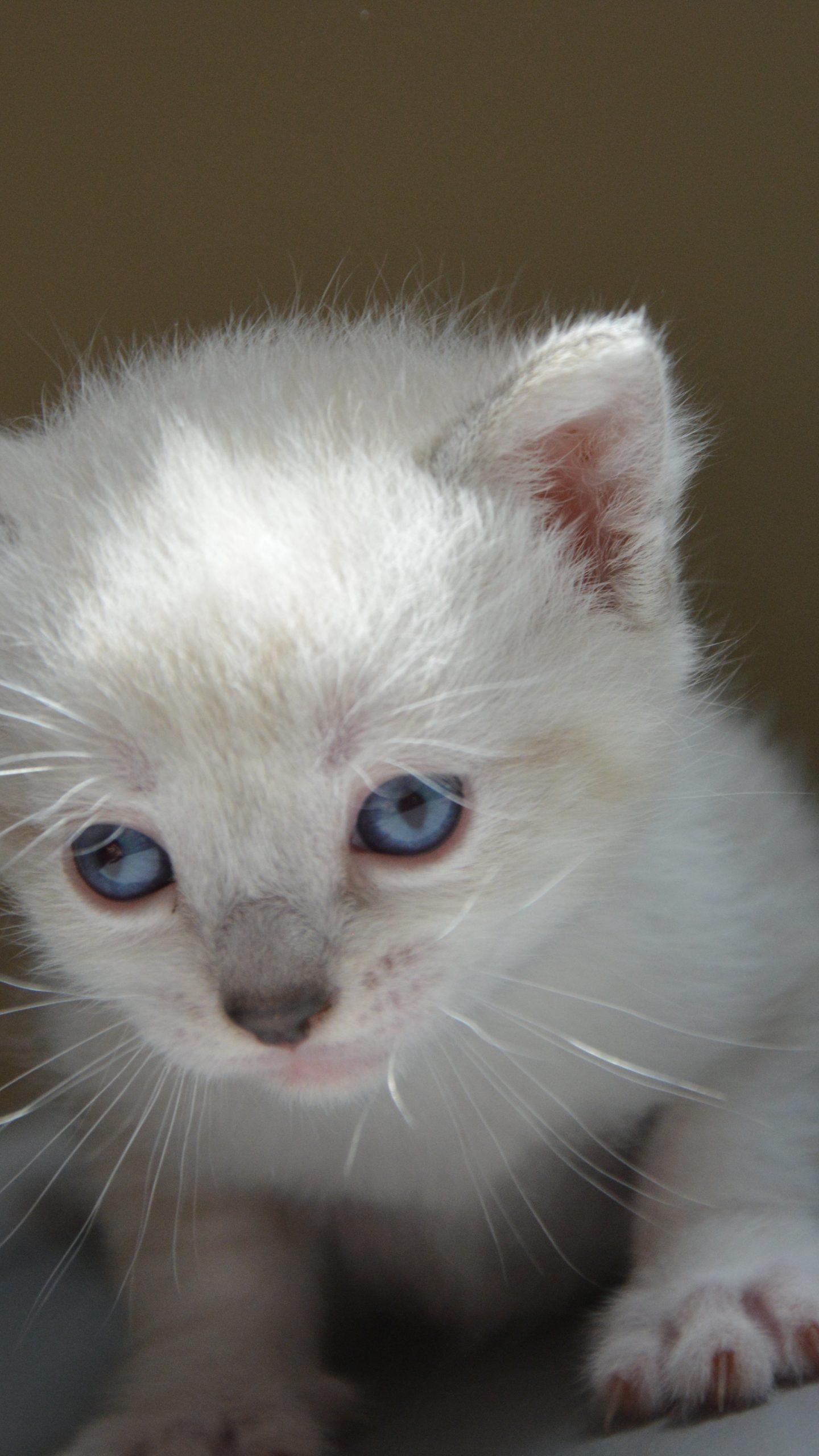 Tiny white kitten with blue eyes 6K UHD Wallpaper  White Cat With Dark Blue Eyes