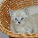 White Kitten In Her Basket