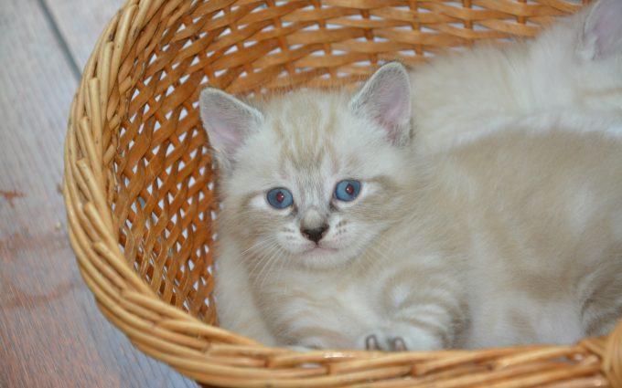 White Kitten In Her Basket