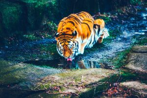 Beautiful tiger drinking in a river HD