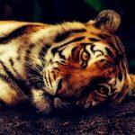 Handsome Tiger At Rest