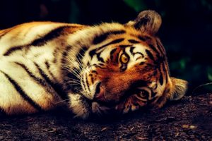 Handsome Tiger At Rest HD