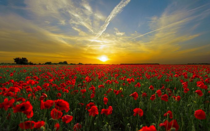 Horizon Of A Red Poppy Flower Field At Sunset