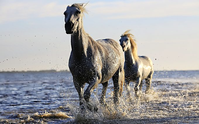White horses at the seaside