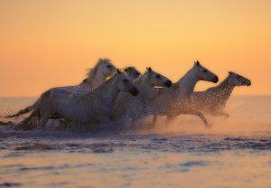 White horses galloping at sunset 4K