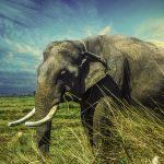 Asian Elephant 4K