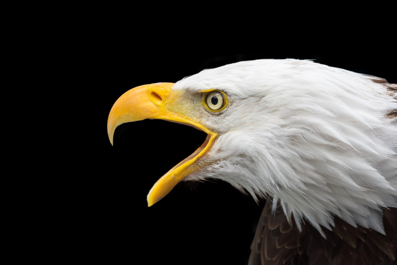 Bald Eagle Face 4k Uhd Wallpaper