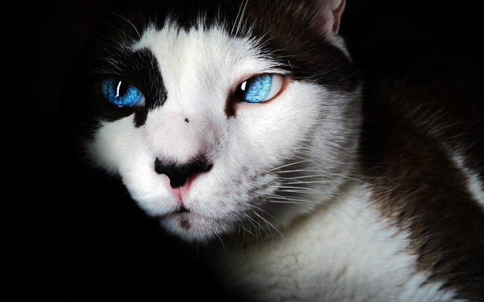 Beautiful cat with blue eyes
