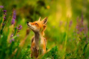 Cute fox in the grass HD