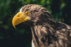 Sea Eagle 4K