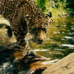 Jaguar Crossing River