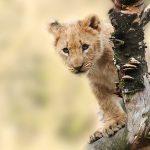 Lion Cub On A Tree Branch 7K