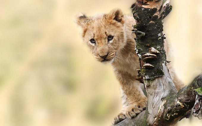 Lion Cub On A Tree Branch 7K
