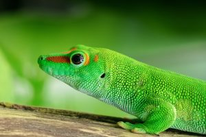 Madagascar day gecko HD