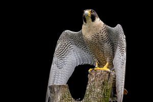 Peregrine Falcon HD