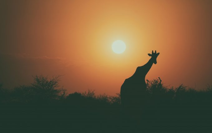 Silhouette of giraffe at sunset 4k
