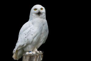 Snowy Owl HD