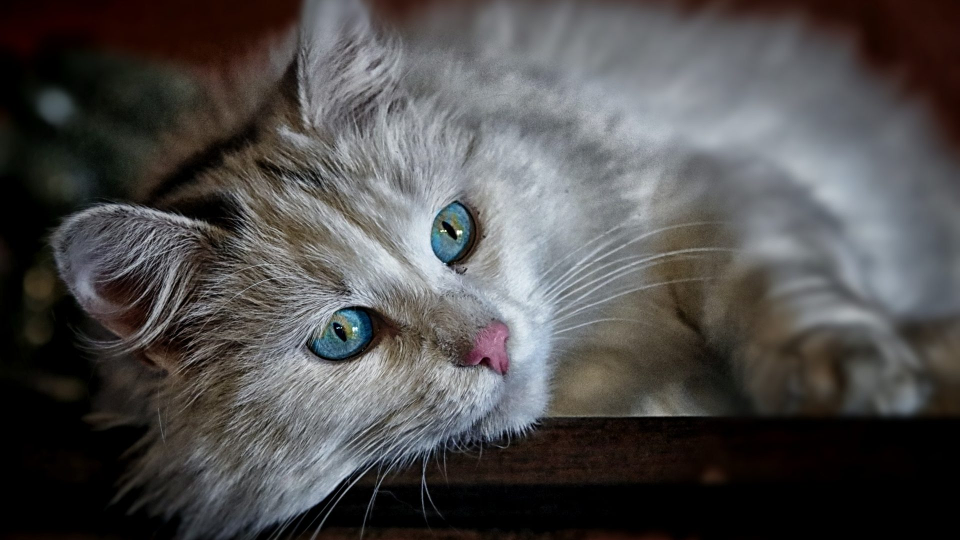 Beautiful White Cat With Blue Eyes HD