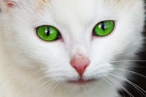 Beautiful white cat with very green eyes hd