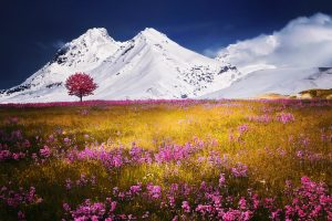 Field of flowers in front of snowy mountains alps hd