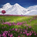 Field of flowers in front of snowy mountains hd