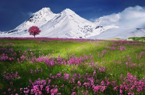 Field of flowers in front of snowy mountains (Alps) HD