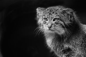 Pallas's Cat (Black and White) 4K