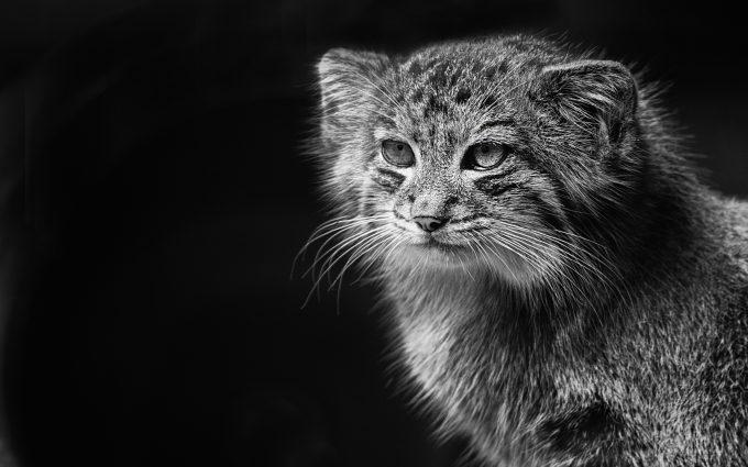 Pallass Cat 4K