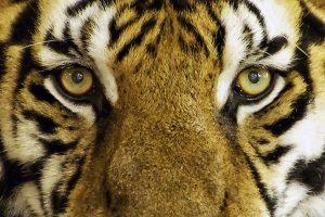 Tiger Face HD