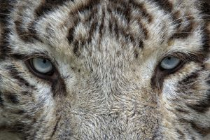 White Tiger Face HD