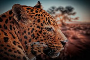 Leopard Face HD