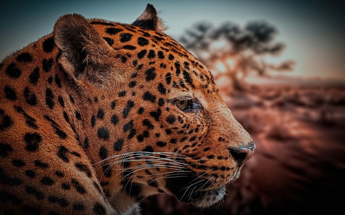 Leopard Face HD