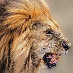 Roaring Lion HD