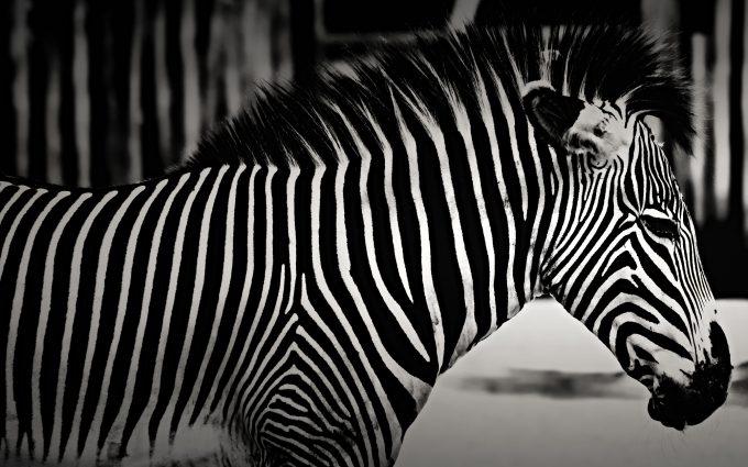Zebra BW HD