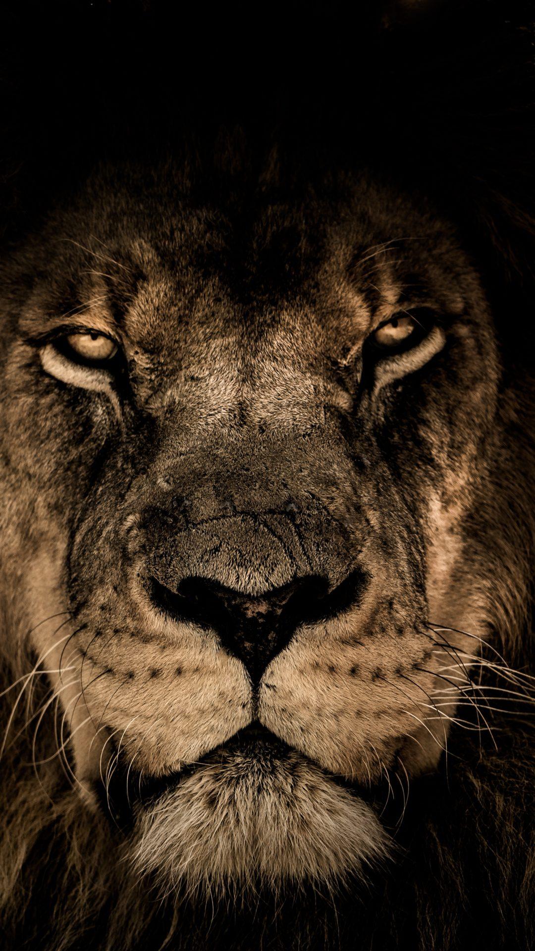 African lion 4k uhd wallpaper - Lion 4k wallpaper for mobile ...
