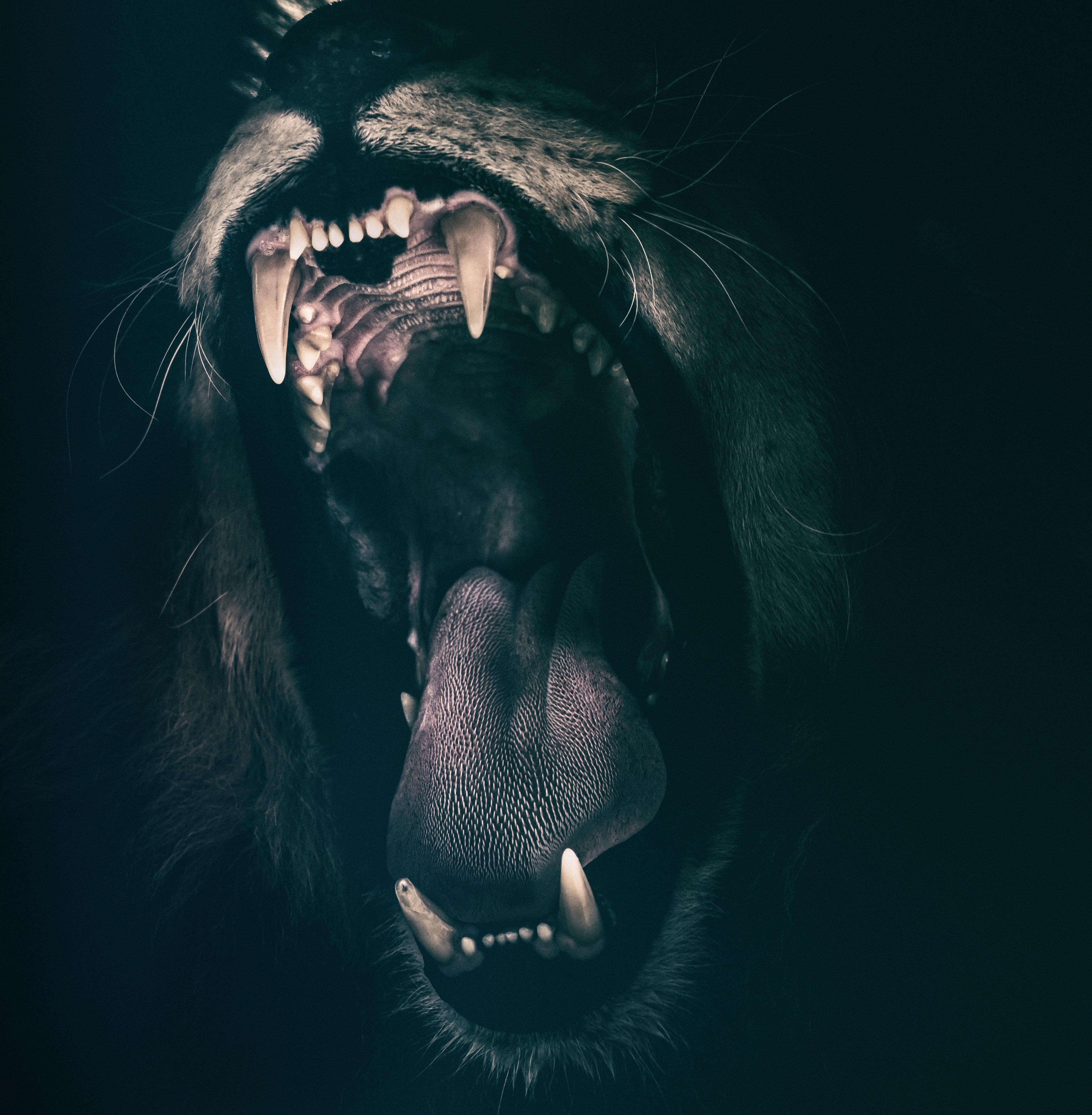 Lion Roar 4K UHD Wallpaper