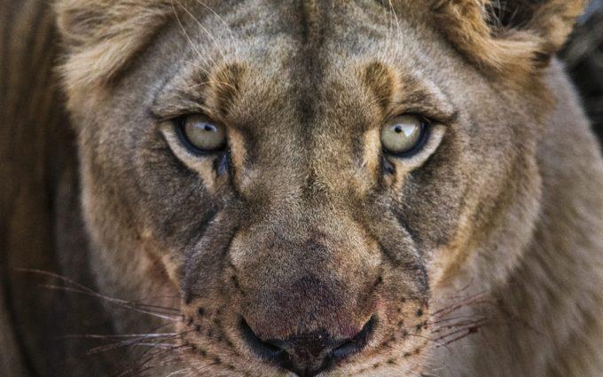 Lioness Face 4K