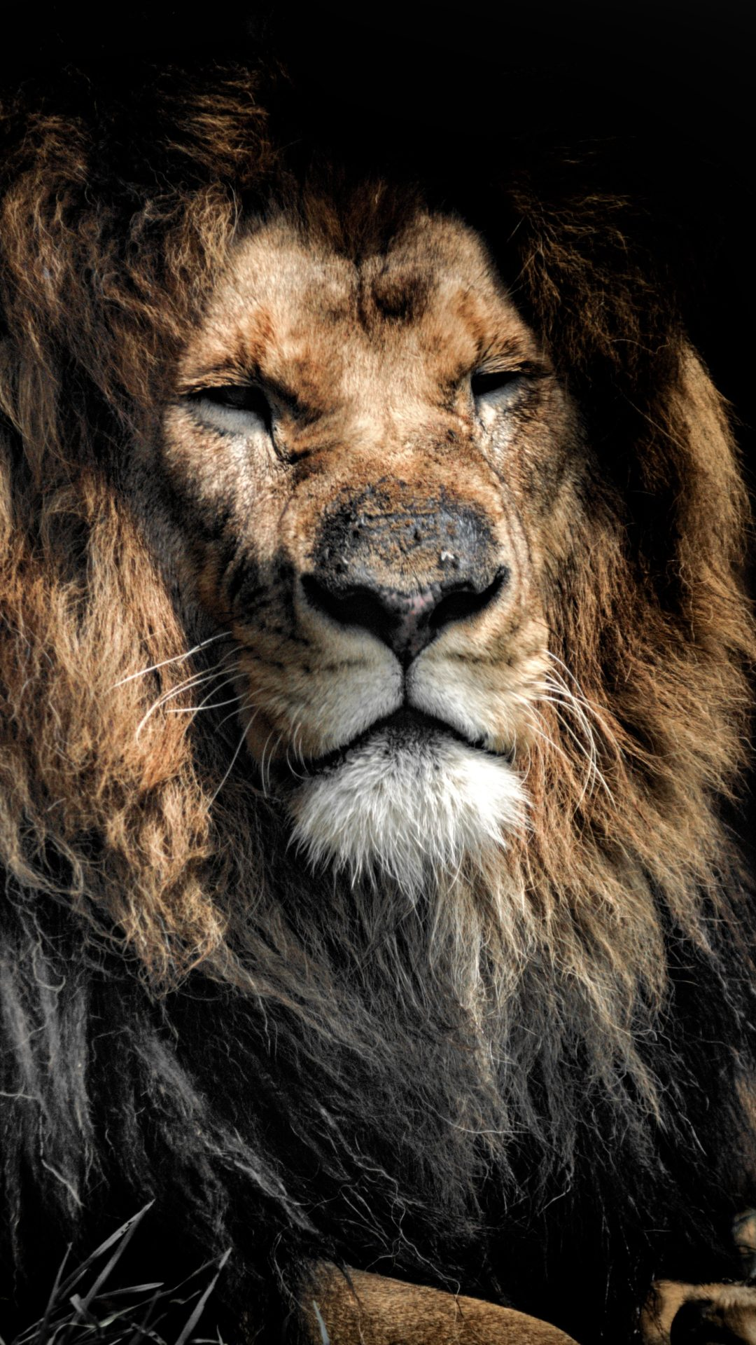 Old Lion 4k Uhd Wallpaper