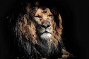 Old Lion 4K